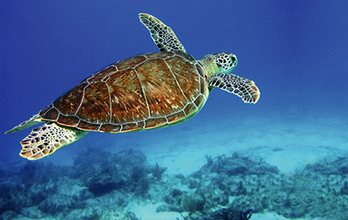 Turtle-500w